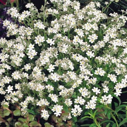 Myosotis White Breeze - Forget me not - Appx 2,200 seeds